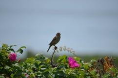 海洋鸟在缅因 库存图片