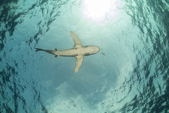 海洋whitetip鲨鱼(真鲨属longimanus)在Elphinestone红海。 库存图片