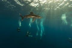 海洋whitetip Elphinestone红海的鲨鱼(真鲨属longimanus)和潜水员。 免版税库存图片