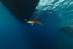 海洋whitetip Elphinestone红海的鲨鱼(真鲨属longimanus)和潜水员。 免版税图库摄影