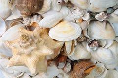 海海扇壳背景 免版税库存照片
