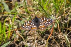 海湾休息在草的Checkerspot蝴蝶(Euphydryas editha bayensis);分类作为一个联邦被威胁的种类,圣 免版税库存图片