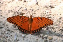 海湾在地面的贝母蝴蝶 免版税库存图片