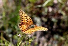 海湾在野花的贝母蝴蝶 免版税库存照片