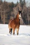 海湾在雪的威尔士小马 免版税库存照片