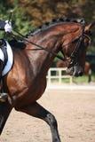 海湾在驯马展示期间的马画象 免版税库存图片