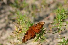 海湾在绿叶的贝母蝴蝶 免版税库存图片