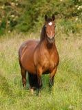 海湾小马在小牧场 免版税库存图片