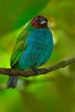 海湾带头的唐纳雀, Tangara gyrola,与红色头,哥斯达黎加的异乎寻常的热带蓝色唐纳雀 在自然ha的蓝色和绿色歌手 免版税库存图片