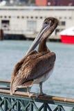 海湾弗朗西斯科鹈鹕码头圣 库存图片