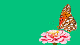海湾提供在桃红色百日菊属的贝母蝴蝶 图库摄影
