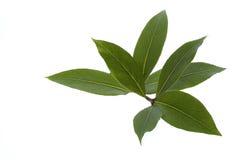海湾新鲜的草本叶子香料 库存图片