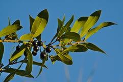 海湾月桂树,月桂属Nobilis叶子和莓果  图库摄影