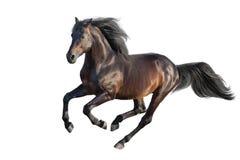海湾查出的公马 免版税库存图片