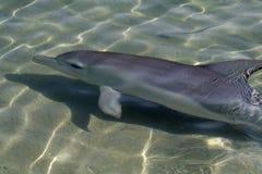 海湾瓶海豚mia猴子引导了通配的鲨鱼 免版税库存图片
