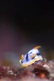 海湾的Chromodoris 库存照片