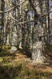 海湾的Garten古苏格兰森林苏格兰的高地的 图库摄影