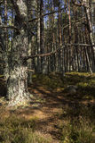 海湾的Garten古苏格兰森林苏格兰的高地的 库存照片