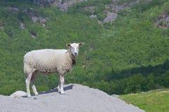 海湾草甸和绵羊032 免版税库存图片