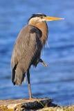 海湾蓝色切塞皮克犬极大的苍鹭 库存照片