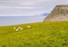 海湾西方冰岛的绵羊 免版税库存图片