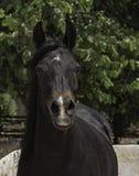 海湾阿拉伯马母马头像正面图 库存图片