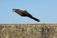 海湾飞过的鹰 免版税库存照片