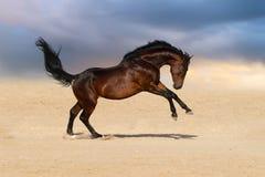 海湾马在沙漠 库存图片
