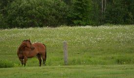 海湾马在绿色牧场地 免版税库存图片