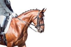 海湾马:驯马-与裁减路线 库存图片
