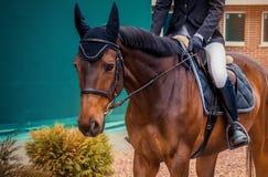 海湾驯马马和车手在执行在跳跃赛的深蓝夹克 免版税库存图片