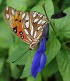 海湾贝母橙色蝴蝶外形特写镜头。 库存照片