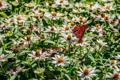 海湾贝母蝴蝶在白花海  免版税库存照片