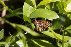 海湾贝母蝴蝶,塔弗尼尔,基拉戈,佛罗里达 免版税库存照片