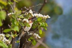 海湾breasted被栖息的鸣鸟 图库摄影