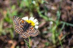 海湾Checkerspot蝴蝶(Euphydryas editha bayensis)在宽舌莱氏菊(Layia platyglossa)野花;分类为a联邦 库存照片