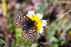 海湾Checkerspot蝴蝶(Euphydryas editha bayensis)在宽舌莱氏菊(Layia platyglossa)野花;分类为a联邦 免版税图库摄影