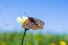 海湾Checkerspot蝴蝶(Euphydryas editha bayensis)在宽舌莱氏菊(Layia platyglossa)野花;分类为a联邦 库存图片