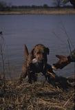 海湾chesapeak猎犬 库存照片