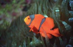 海湾clownfish kimbe 免版税图库摄影