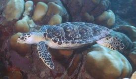海湾el hawksbill s鲨鱼sharm回教族长被采取的乌龟 免版税库存图片