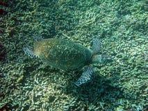 海湾el hawksbill s鲨鱼sharm回教族长被采取的乌龟 免版税图库摄影