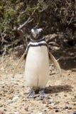 海滩企鹅 免版税库存照片