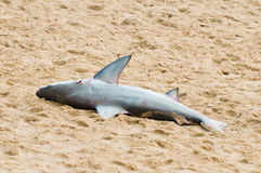 海滩停止的鲨鱼 库存照片