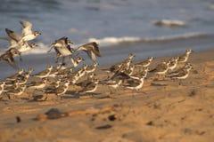 海滩卖力珩科鸟 图库摄影