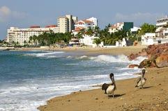 海滩墨西哥鹈鹕 库存图片