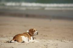 海滩小狗 免版税库存图片