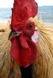 海滩接近的顶头考艾岛雄鸡 免版税图库摄影