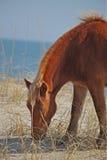海滩沙丘马 免版税库存照片