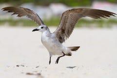 海滩海鸥 免版税图库摄影